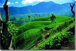 ceylon-tea-trails-l